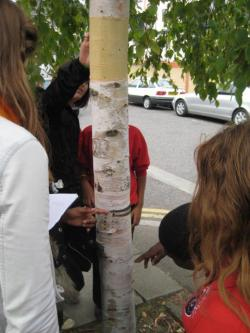 Looking for ants in a birch tree